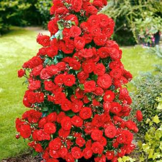Роза плетистая Красная изображение 2