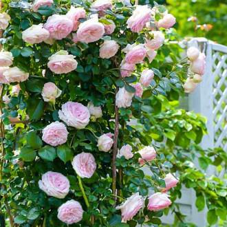 Роза плетистая Пьер де Ронсар изображение 5