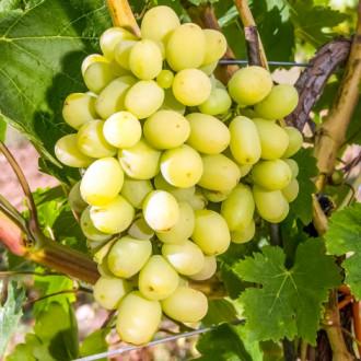 Виноград Макси белый изображение 1