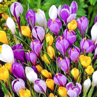 Суперпредложение! Комплект ботанических крокусов, микс из 35-ти луковиц изображение 8