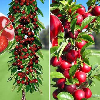 Суперпредложение! Комплект колоновидных деревьев Урожайная парочка из 2 саженцев изображение 7
