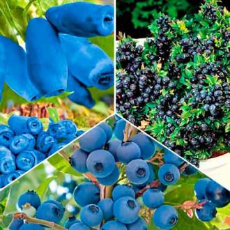 Суперпредложение! Комплект Вкусные ягоды из 3 саженцев изображение 8