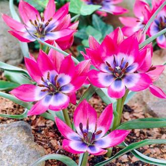 Тюльпан ботанический Литтл Бьюти изображение 4