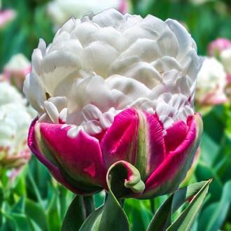 Тюльпан махровый Дабл Полар изображение 2