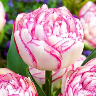 Тюльпан махровый Дабл Тач изображение 5