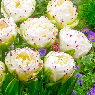 Тюльпан махровый Дэнс Лайн изображение 6