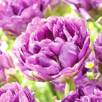 Тюльпан махровый Лилак Перфекшн изображение 8