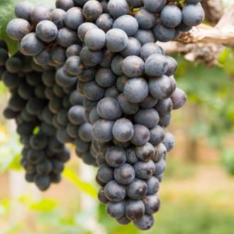 Виноград кишмиш черный изображение 5