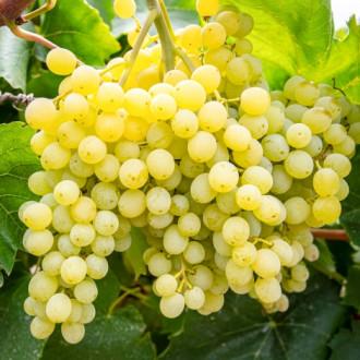 Виноград кишмиш Сверхранний изображение 8