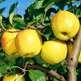 Яблоко-груша Голден Делишес изображение 8