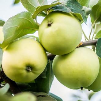 Яблоня Белый налив изображение 6