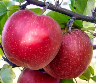 Яблоня Фуджи изображение 5