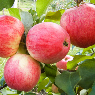 Яблоня Мельба изображение 7