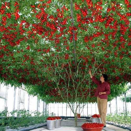 Томат Чудо дерево F1 изображение 1 артикул 74257