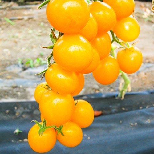 Томат Непасынкующийся желтый изображение 1 артикул 74250