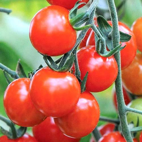 Томат-дерево Спрут Черри F1 изображение 1 артикул 65190