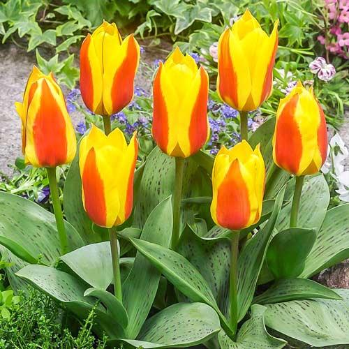 Тюльпан Грейга Бон Бини изображение 1 артикул 67475