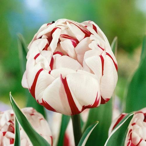 Тюльпан махровый Карнавал де Найс