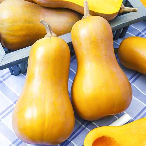 Тыква порционная Ореховое масло (74039): купить семена почтой в Беларуси   интернет-магазин Беккер