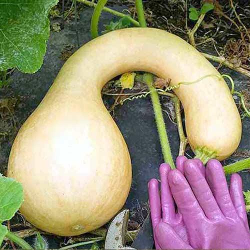Тыква мускатная Сахарная булава F1, семена изображение 1 артикул 65194