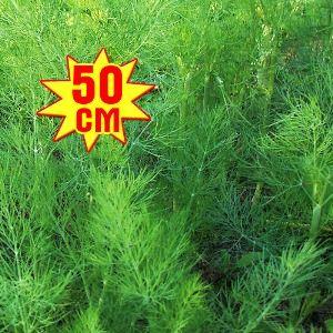 Укроп РР, семена изображение 1 артикул 7711