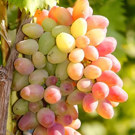 Виноград Арочный