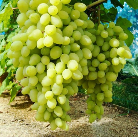 Виноград Долгожданный изображение 1 артикул 7355