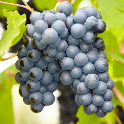 Виноград кишмиш Черный изумруд изображение 1 артикул 7357