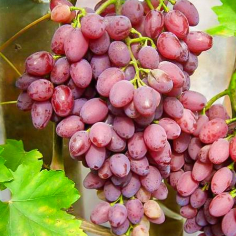 Виноград кишмиш Лучистый