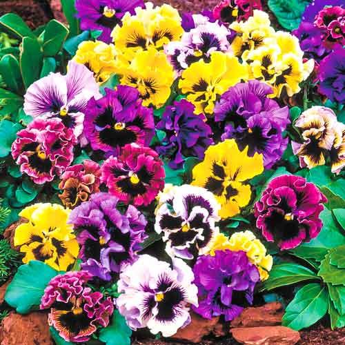Виола Виттрока Фламенко F1, смесь окрасок изображение 1 артикул 83156