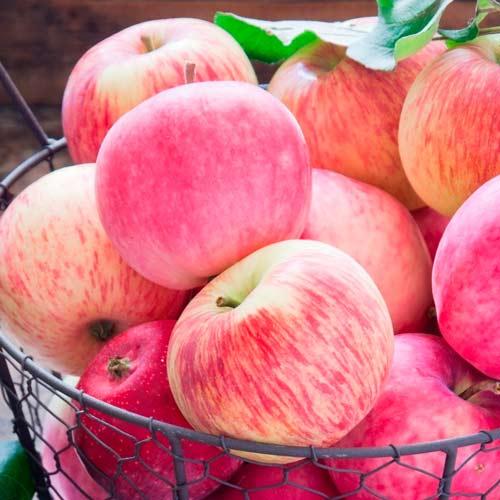 Яблоня Налив розовый