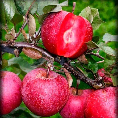 Яблоня Розовый жемчуг (красная мякоть) изображение 1 артикул 7475