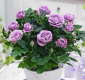 Розы канадские