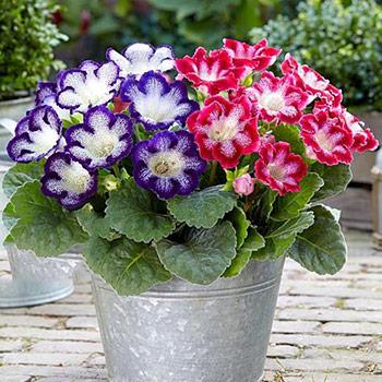 Семена комнатных цветов