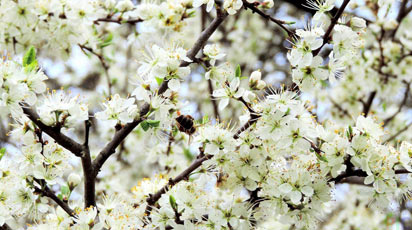 Чем подкормить яблоню весной