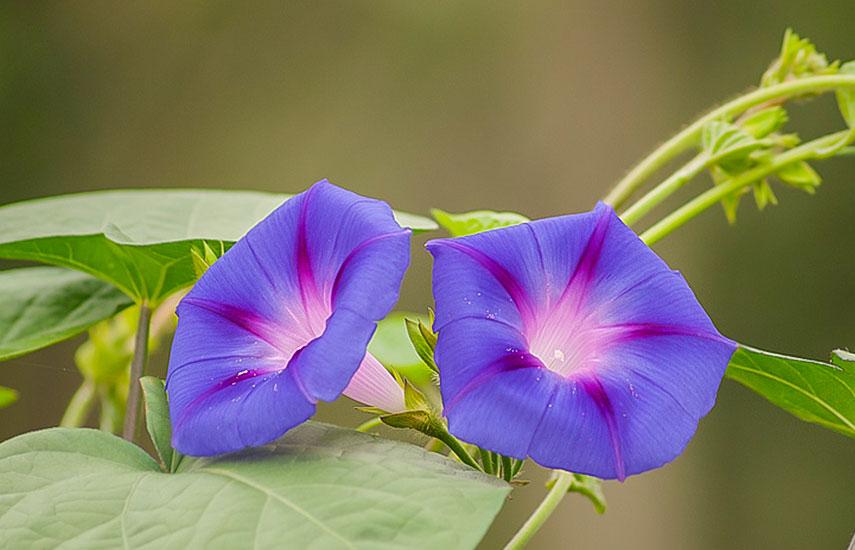 Вьющиеся растения для забора, беседок и стен
