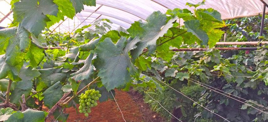 обрезка винограда на зиму